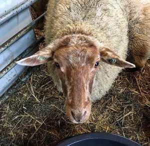 Coburger Fuchs schapen