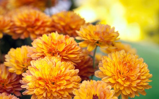 Free Fall Flower Desktop Wallpaper Herbstblumen F 252 R Den Garten Diese Bl 252 Hen Bis In Den November