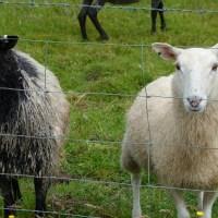 Les moutons du monastère