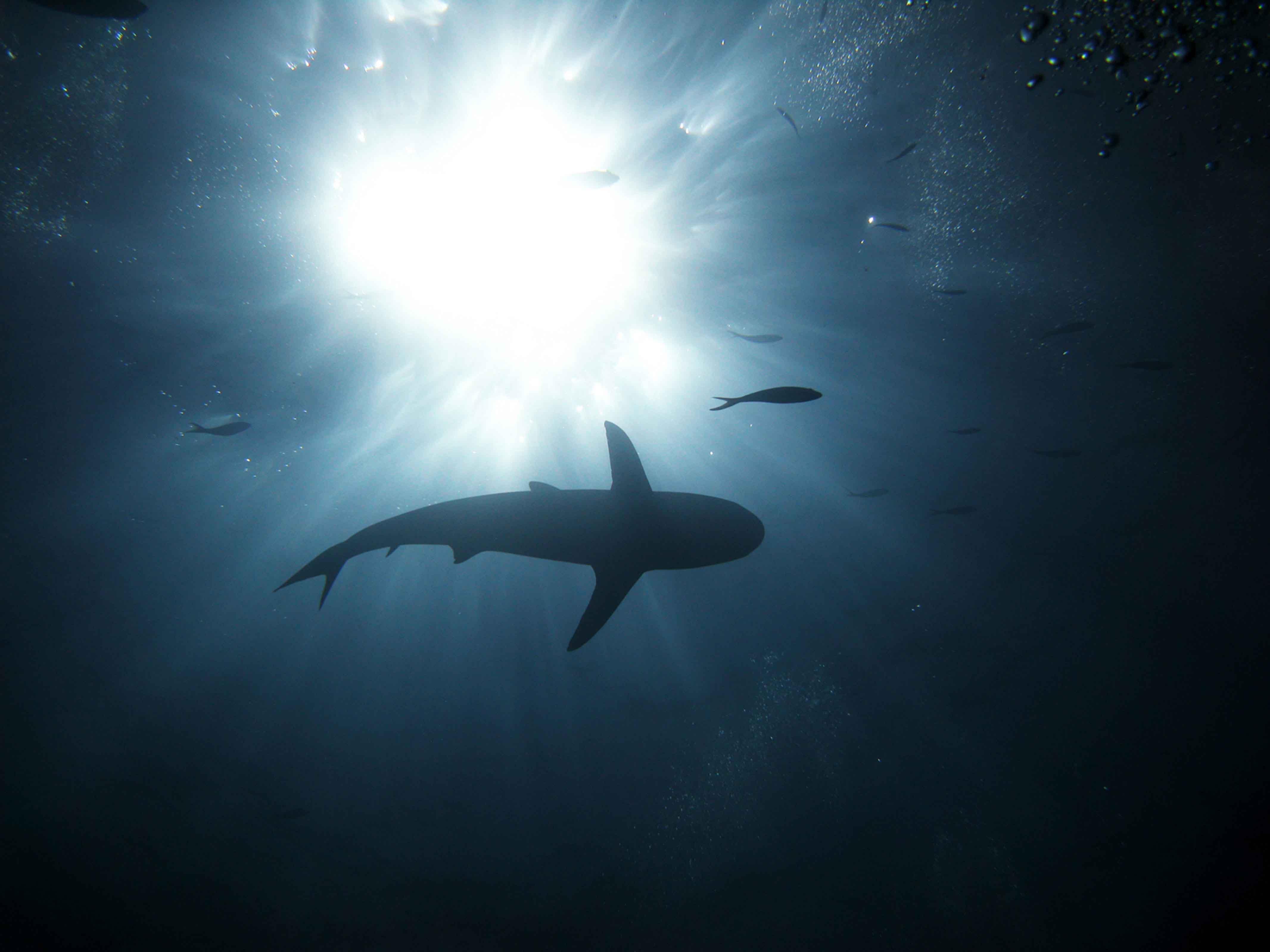 Hd Great White Shark Wallpaper Oceans Scholastic