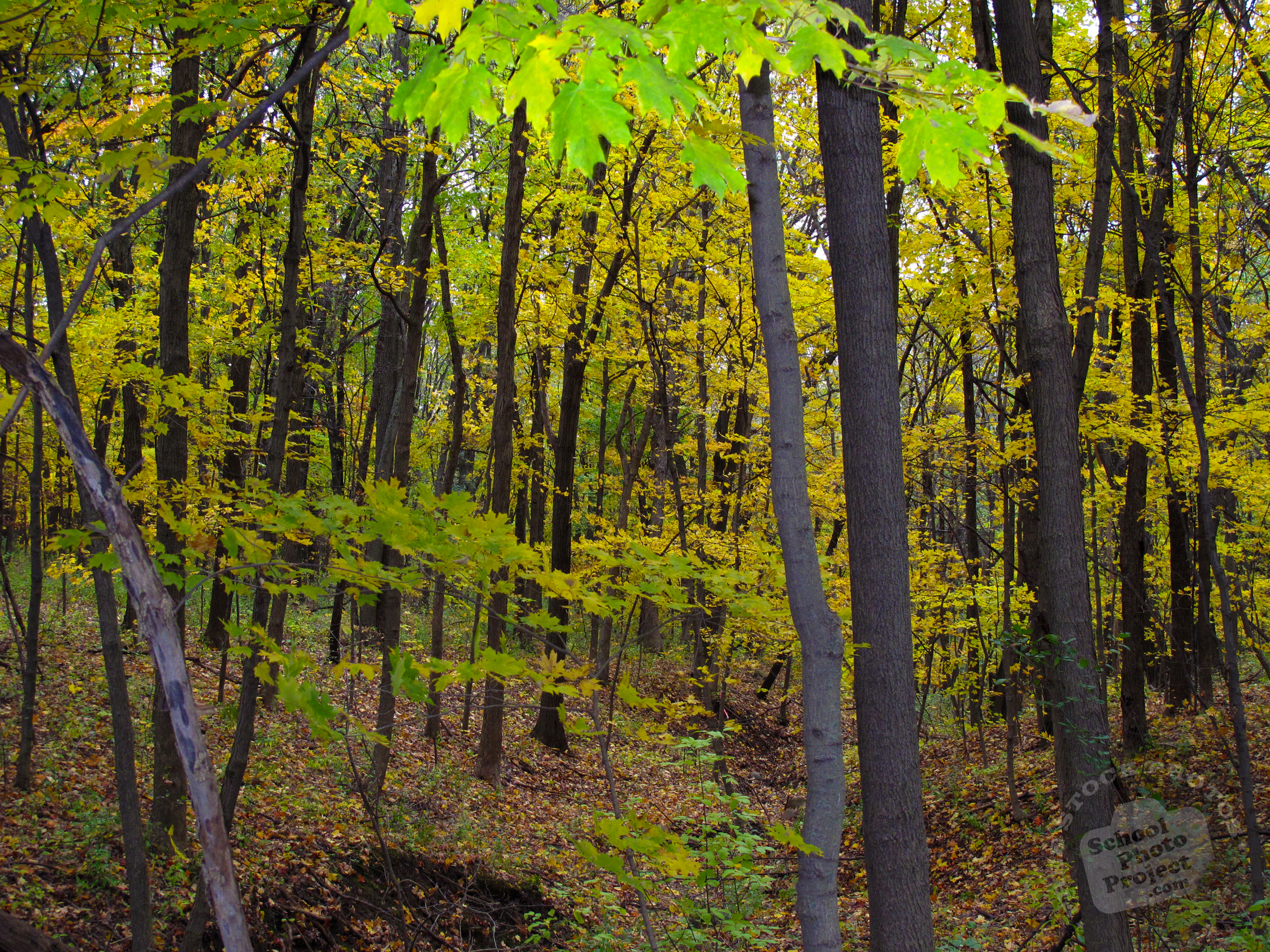 Fall Foliage Wallpaper Free Dense Maple Trees Forest Photo Fall Foliage Picture