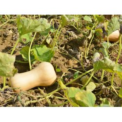 Small Crop Of When To Pick Butternut Squash