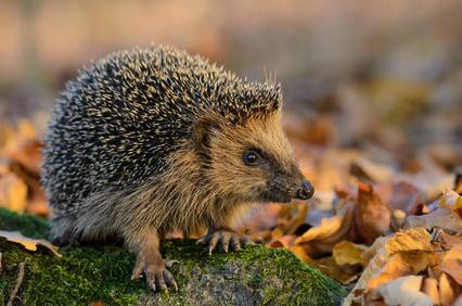 Fall Hedgehog Wallpaper Bauen Sie Ein Nest F 252 R Igel