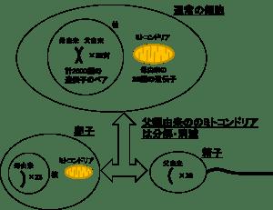 受精の際の遺伝子の引き継がれ方
