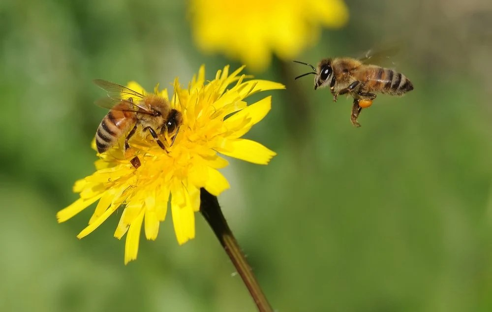 Bee Extinction Facts Why The Extinction of Bees Would End Humanity?