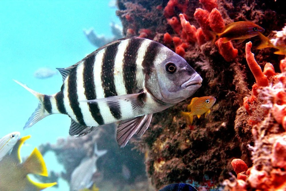 Sheepshead Fish Facts About The Fish With Human Teeth » Science ABC