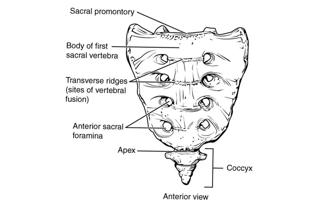 Vertebrae Different Types Cervical, Thoracic, Lumbar, Sacrococcygeal