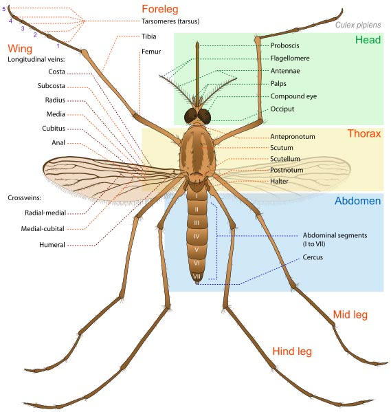 Mosquito Anatomy Diagram - Insect Pictures, Photos  Images of Animals