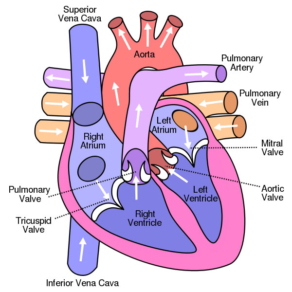 Human heart diagram human body pictures science for kidsheart human heart diagram human body pictures science for kids ccuart Images