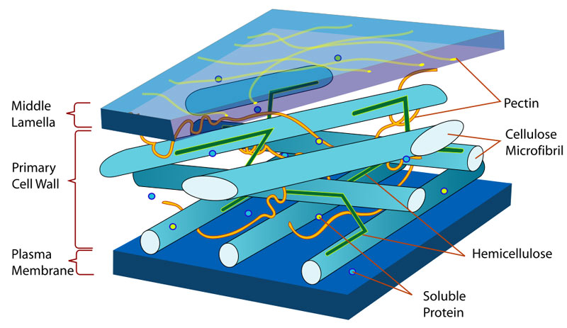 Plant Cell Wall Diagram - Pictures, Photos  Images of Plants