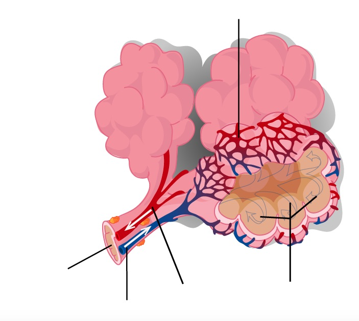 T Cell Receptor Gene Therapy Of Cancer moreover Map moreover Clipart 26502 besides Simple Muscular System Diagram moreover Human Skull Anatomy Study Guide. on blank brain diagram