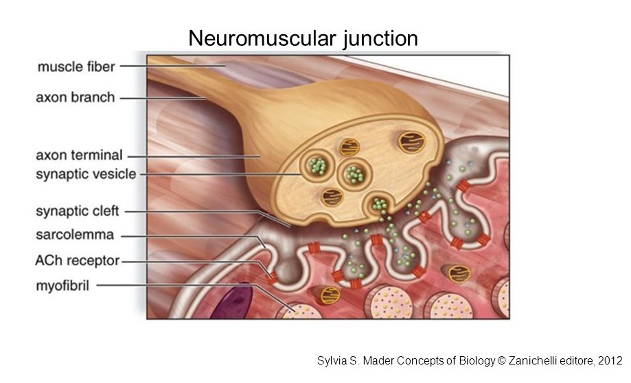 Science of Massage Institute » LET\u0027S TALK ABOUT NEUROMUSCULAR - neuromuscular junction