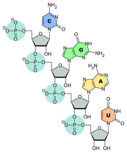 Ribonucleic Acid (RNA) Structure  Function