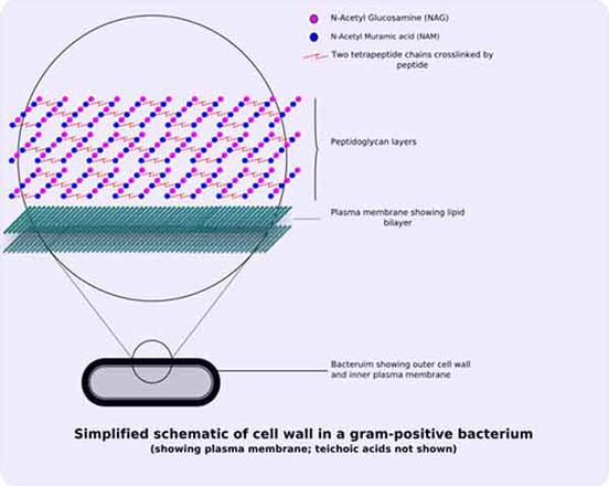 Bacterial Cell Wall Structure Gram-positive  negative