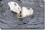 duck_aggression