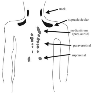 Location of Brown Adipose Tissue in Adults Nedergaard J.,  Bengtsson T. and Cannon B. (2007)  Am J Physiol Endocrinol Metab 293:444–452.