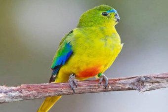 It is believed that less 50 orange-bellied parrots are left in the wild. http://www.abc.net.au/news/2015-06-01/orange-bellied-parrot-male-chris-tzaros/6510802