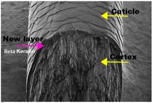 Electron Micrograph of a hair Modified from: http://www.abc.net.au/reslib/201507/r1455553_21177742.jpg
