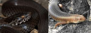 Ornamental snake and yakka skink, threatened species. http://junkee.com/wp-content/uploads/2015/08/snek.jpg