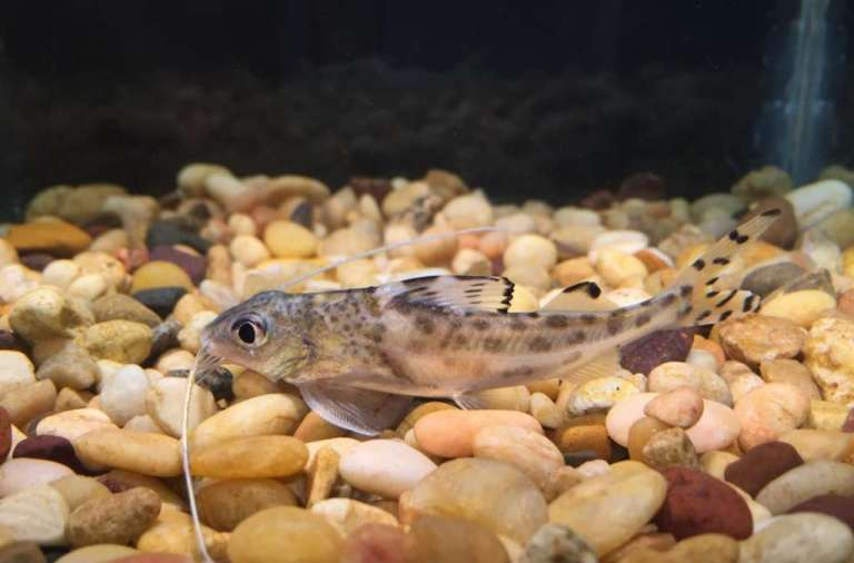 pictus-catfish