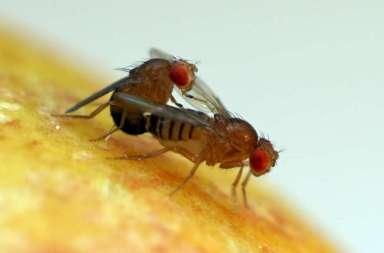 Twee parende fruitvliegen. Afbeelding: Stefan Lüpold / UZH.