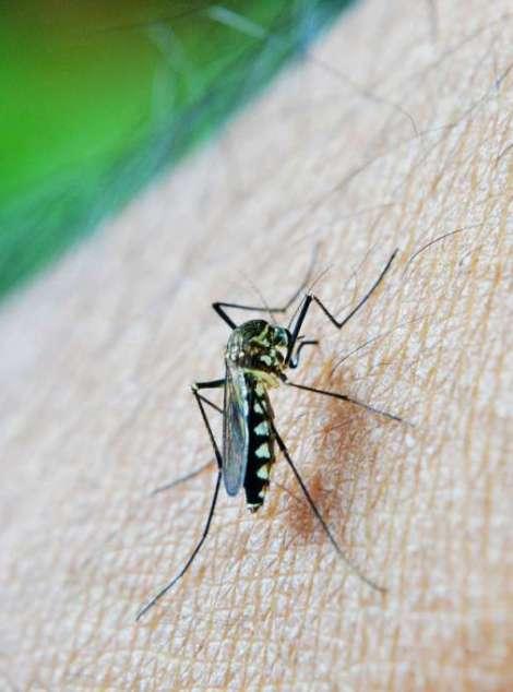 mosquito-213805_1280
