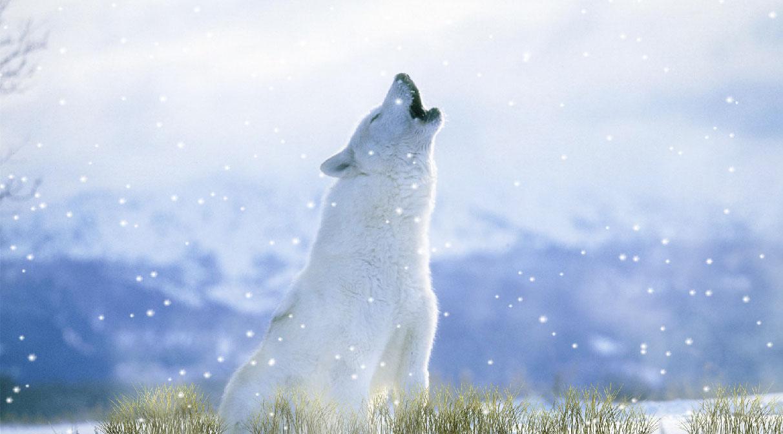 Howling Wolves Screensaver