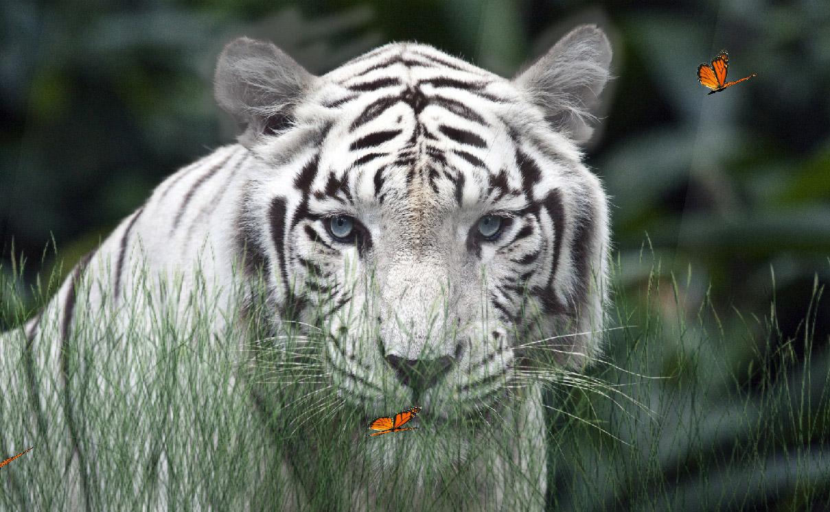 Wild Tigers Screensaver