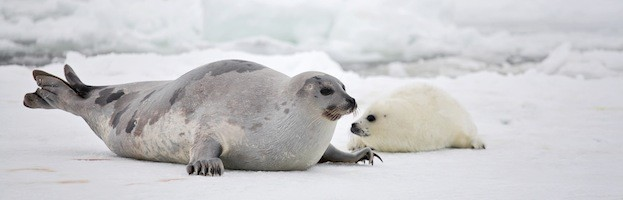 Leopard Animal Print Wallpaper Harp Seal Seal Facts And Information