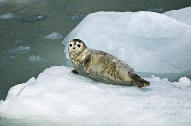 Cute Orca Wallpaper Harbor Seal Seal Facts And Information