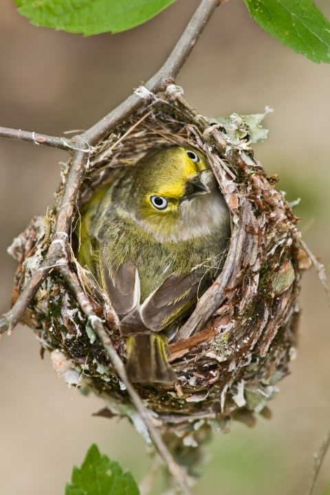 Vireo on Nest