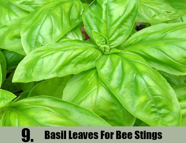 Basil Leaves For Bee Stings