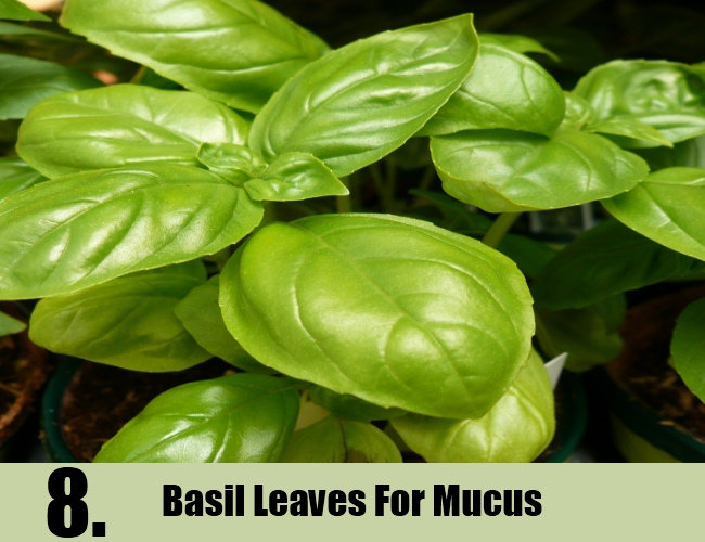 Basil Leaves For Mucus