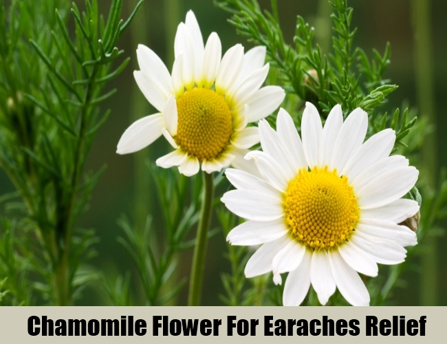 Chamomile Flower For Earaches Relief