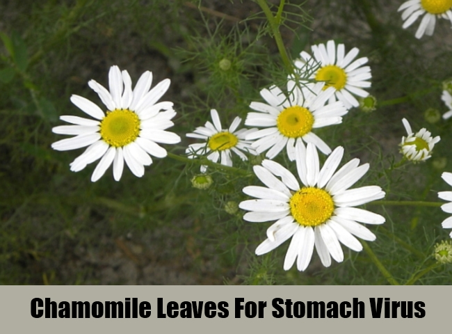 Chamomile Leaves For Stomach Virus