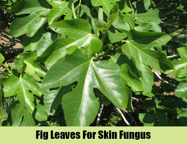 Fig Leaves For Skin Fungus