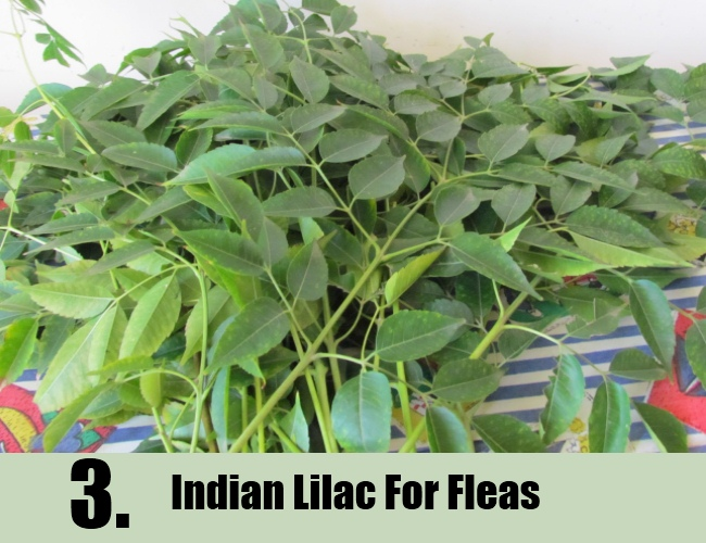 Indian Lilac For Fleas