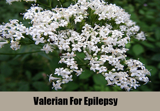 Valerian For Epilepsy