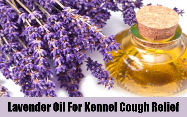 Lavender Oil For Kennel Cough Relief