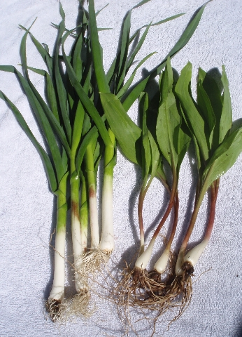 green garlic and ramps