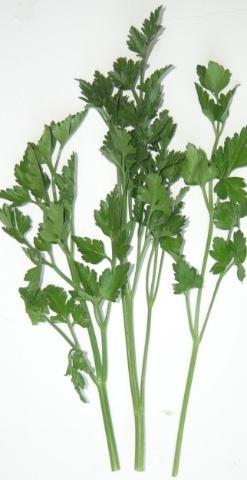 flat-leaf-parsley-052707
