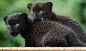 cria-de-pantera-negra