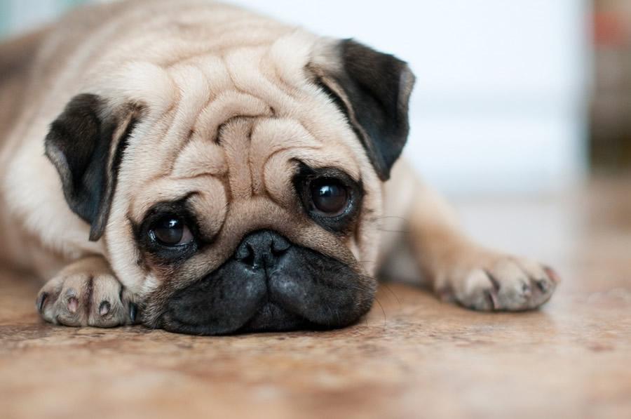 Cute Pug Wallpaper For Desktop Cachorro Para Apartamento Lista De Ra 231 As E Comportamentos