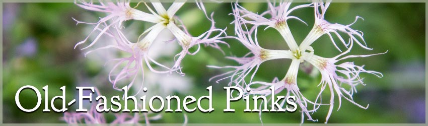 Old-Fashioned Pinks - Dianthus - Select Seeds
