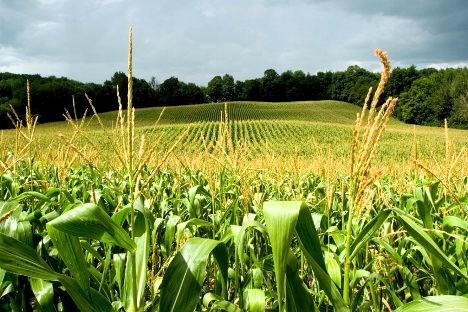 Las plantaciones de maíz transgénico están arruinando a los cultivadores.