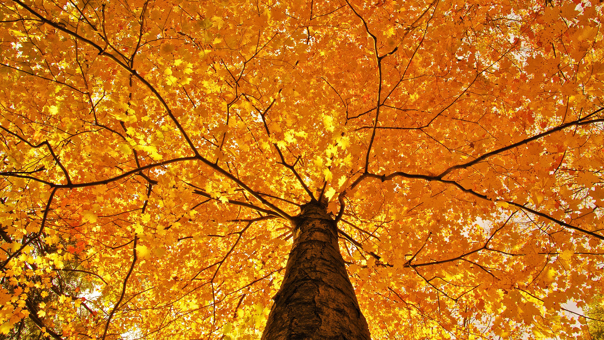 Black Iphone 7 Wallpaper Nature Trees Leaves Color Yellow Autumn Wallpaper 1920x1080