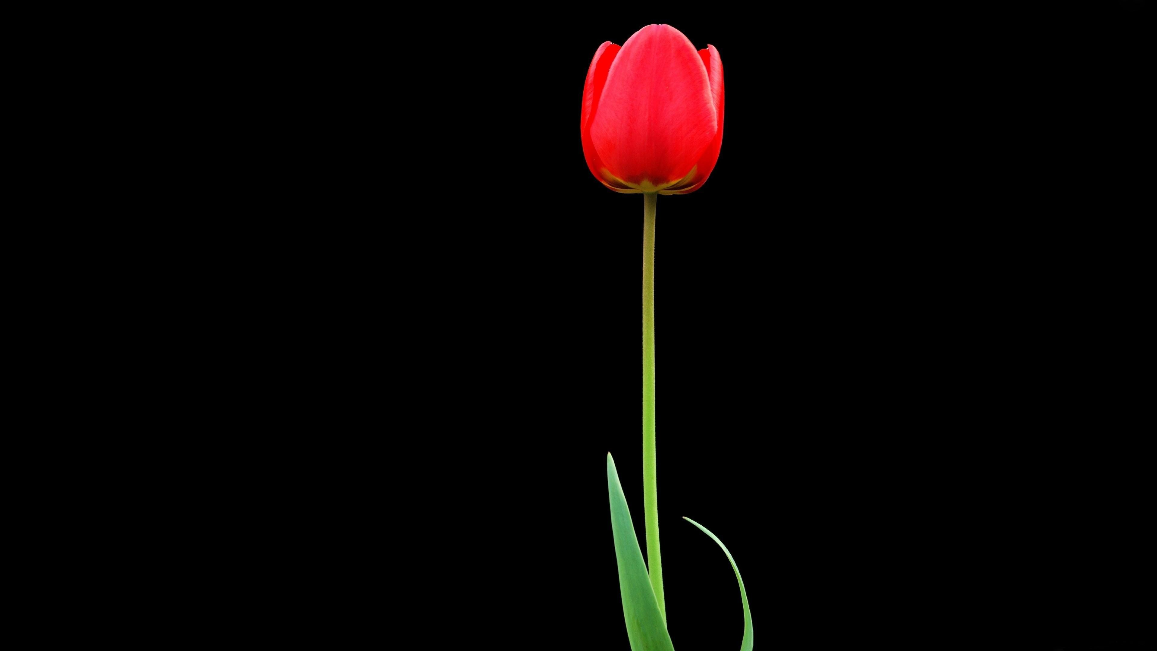 3d Flower Wallpapers For Iphone Tulip Red Flower 4k Ultra Hd Wallpaper 3840x2160