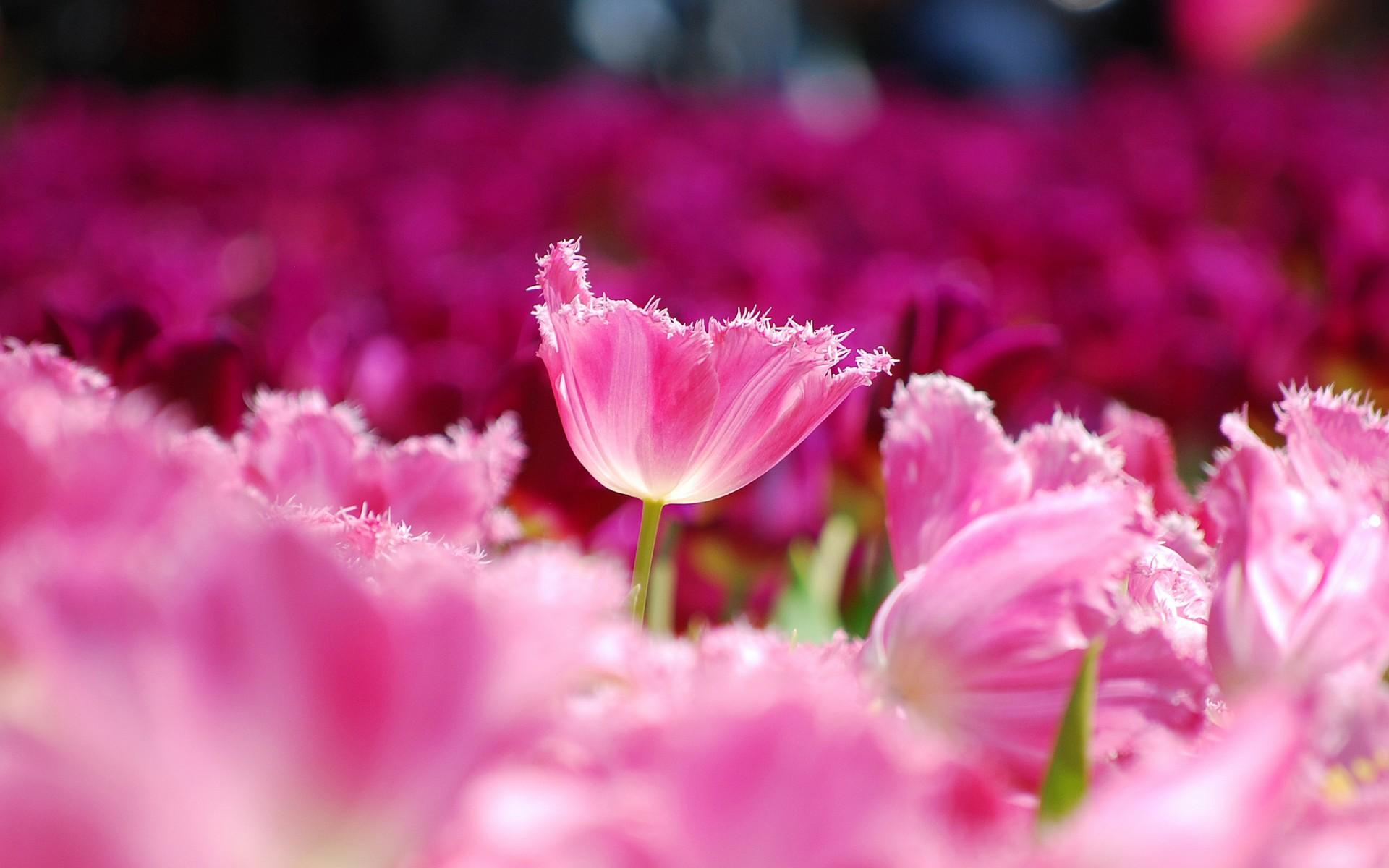 3d Hd Wallpapers Flowers Rose Pink Flower Wallpapers Hd