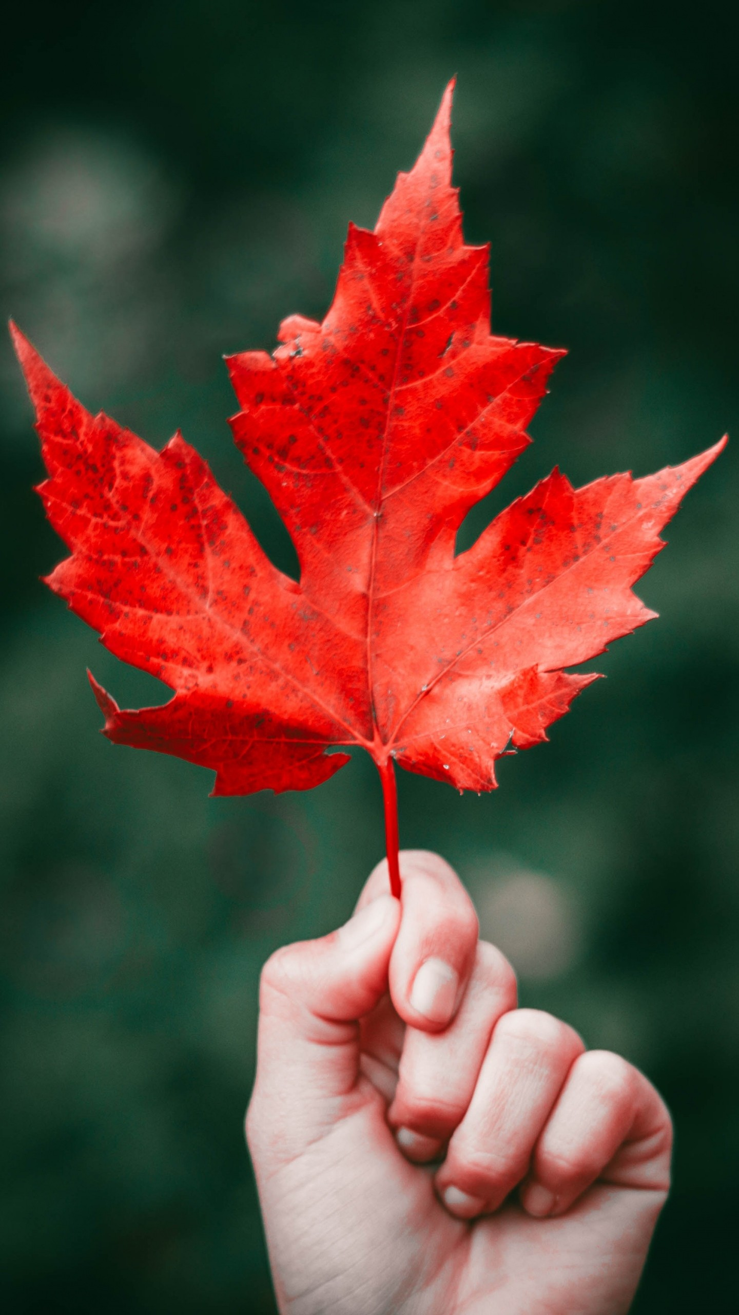 Islamic 3d Wallpapers Download Maple Leaf Autumn Hand Wallpaper 1440x2560