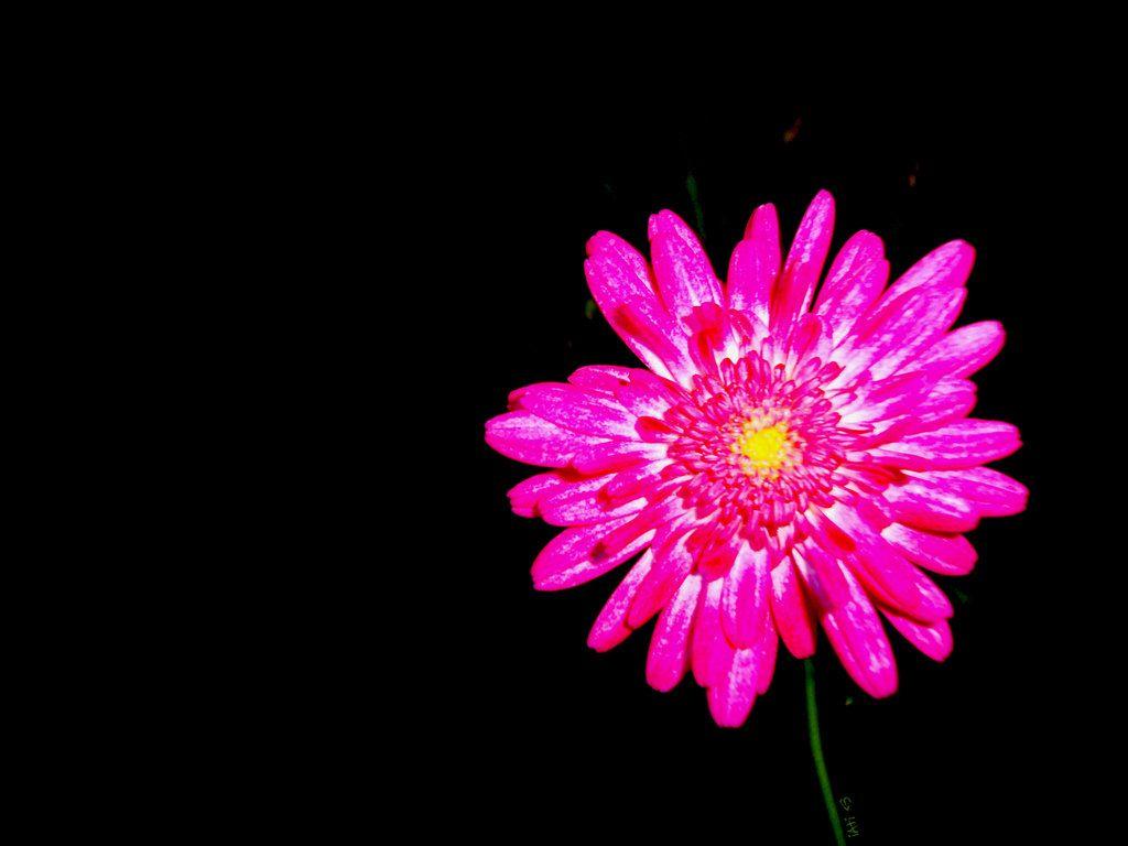 Iphone 6 Islamic Wallpaper Hd Hot Pink Flower Wallpaper 01 1024x768